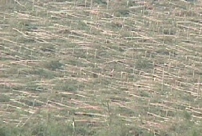 Trees flattened by downburst
